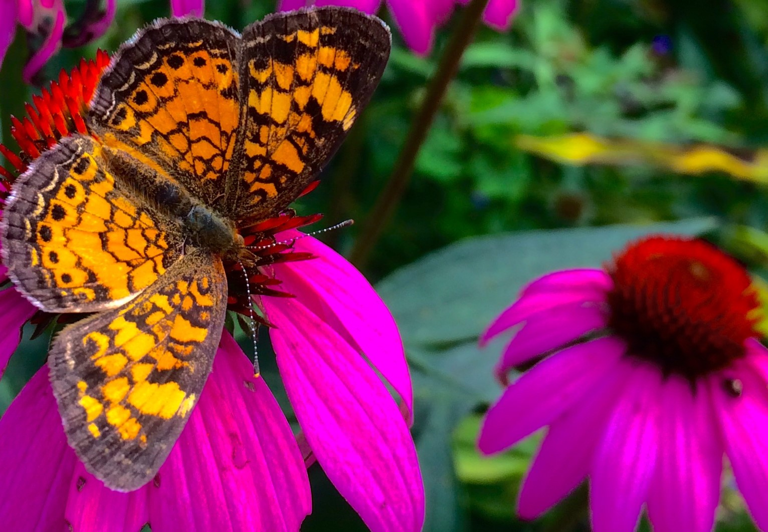 Orange Butterfly on Cone Flower July